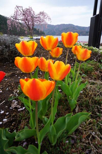 Kvety pri jazere Kavaguči