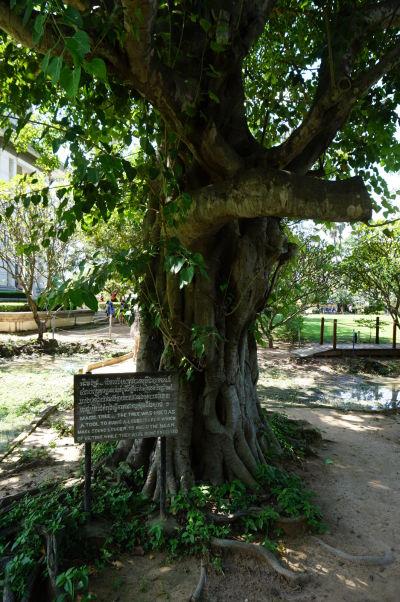 """Vražedné polia Cheoung Ek - tzv. """"Čarovný strom"""" - bol na ňom umiestnený reproduktor, ktorý mal prehlušiť krik obetí pri ich vraždení"""