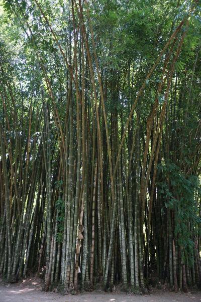 Botanická záhrada v Riu de Janeiro - bambusový háj