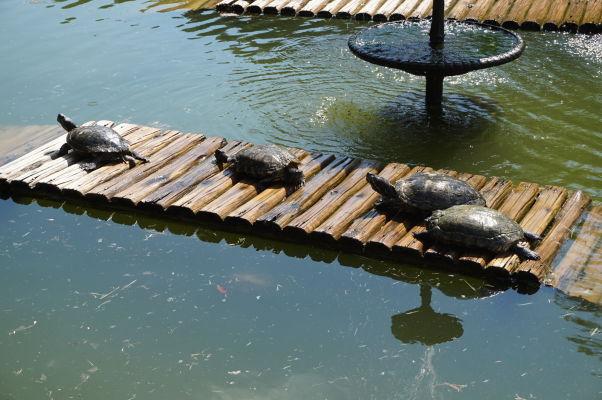 Botanická záhrada v Riu de Janeiro - opaľujúce sa korytnačky