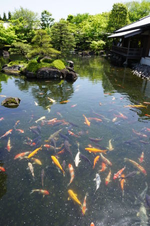 Japonská záhrada Kokoen a kapre koi