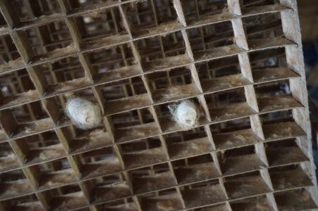 Detail na mriežku pre ukladanie kukiel lariev priadky morušovej - aj s dvomi kuklami