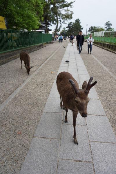 Drzé malé jelene v Nare robia oči na turistov a skúšajú vydrankať maškrtu