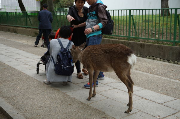 Drzé malé jelene v Nare nájdu pochúťky všade, i v batohoch turistov
