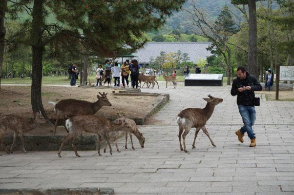 Drzé malé jelene v Nare loviace turistov, u ktorých vidia, že majú niečo dobré a sú ochotní sa podeliť