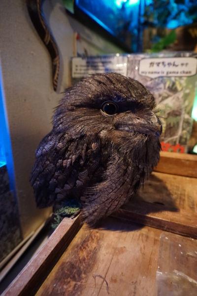 Vták v sovej kaviarni Auru no Mori v štvrti Akihabara v Tokiu
