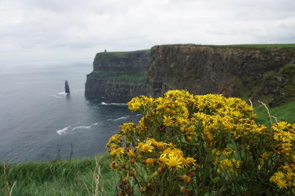 Žlté kvety na Moherských útesoch (Cliffs of Moher) na západnom pobreží Írska