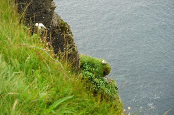 Čajka na Moherských útesoch (Cliffs of Moher) na západnom pobreží Írska