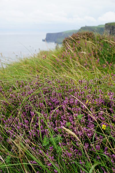 Fialové kvety (typické pre Írsko) na Moherských útesoch (Cliffs of Moher) na západnom pobreží Írska