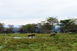Pakone v parku Naivasha