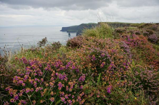Farebné kvety na Moherských útesoch (Cliffs of Moher) na západnom pobreží Írska