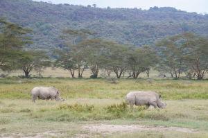 Biele nosorožce v Nakuru