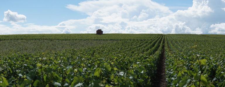 Vinica v kraji Chapmagne, domove šampanského