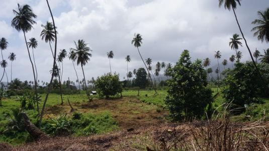 Palmy na ostrove Svätý Vincent