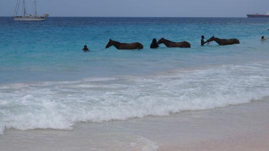 Kone kúpajúce sa na pláži Brownes Beach v Bridgetowne na Barbadose