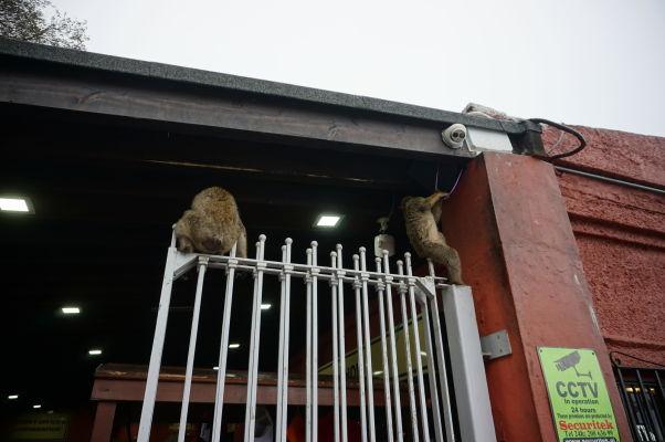 Makak - elektrikár na Gibraltári