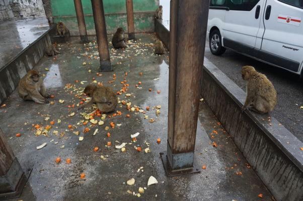 Makaky na Gibraltári sa kŕmia ovocím, ktoré ím nosia správcovia