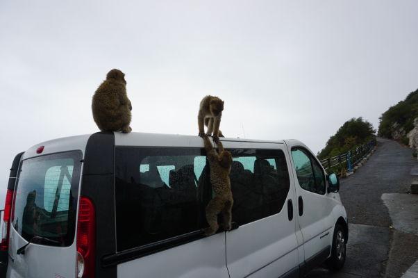 Makaky na Gibraltári vedia, že keď prídu dodávky s turistami, je čas na zábavu