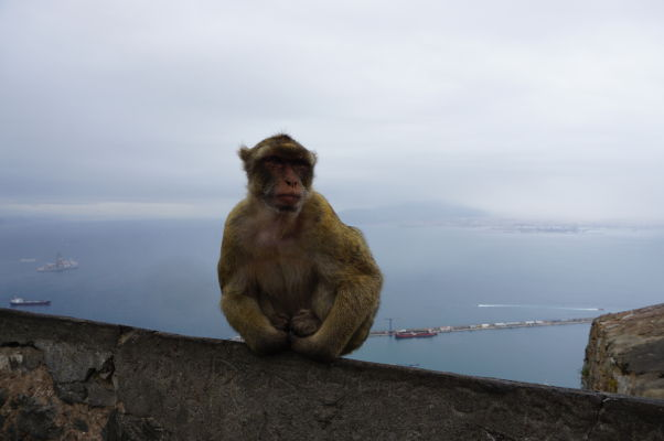 Makaka veľmi výhľad na Gibraltársky záliv nezaujíma