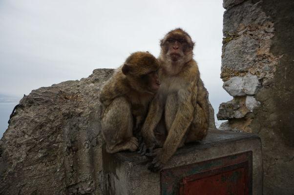 Makaky na Gibraltári sa zohrievajú v sychravom počasí