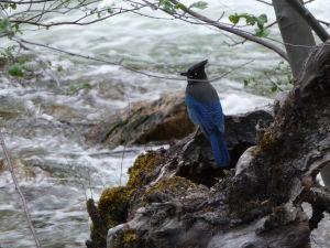 Národný park Yosemite - park je plný týchto vtáčikov (Stellerova sojka)