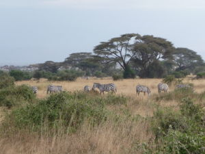 Zebry v Amboseli