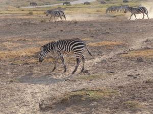 Zebry v Amboseli - Každá zebra ma unikátne pruhovanie, ako človek odtlačok prstov