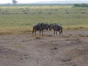 Pakone v Amboseli sa nepohodli