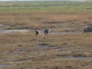 Pávy v Amboseli