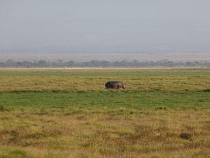 Hroch v Amboseli