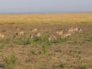 Gazely v Amboseli
