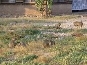Opice v Amboseli