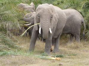 Slony v Amboseli