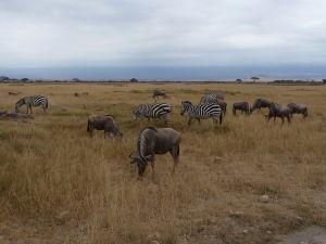 Zebry a pakone v Amboseli