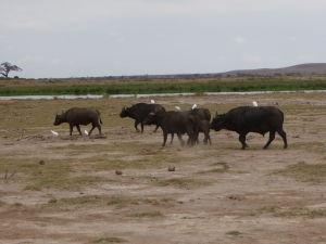 Byvoly v Amboseli
