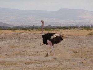 Pštros v Amboseli