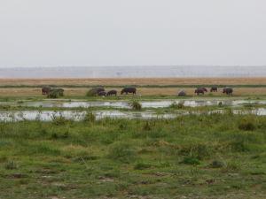 Hrochy v Amboseli