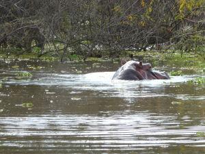 Hroch v jazere Naivasha