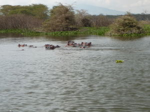Hrochy v jazere Naivasha