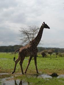 Žirafa v parku Naivasha