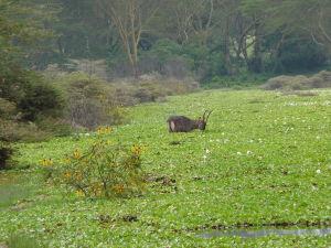 Antilopa v parku Naivasha