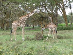 Žirafy v parku Naivasha