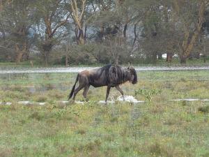 Pakôň v parku Naivasha