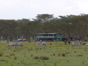Zebry v parku Naivasha