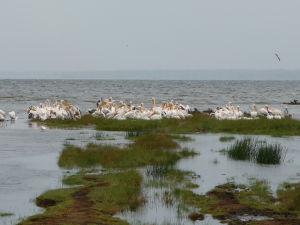 Marabu v jazere Nakuru