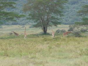 Žirafy v okolí Nakuru
