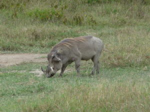 Divé prasa v parku Nakuru