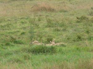 Levy sa rochnia v tráve