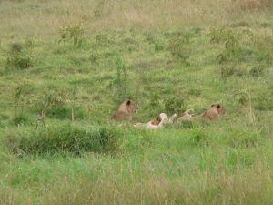 Levice a malé levíky sa rochnia v tráve