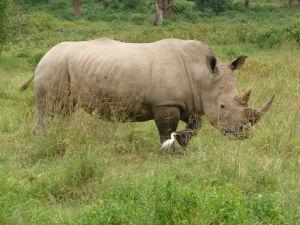 Biely nosorožec